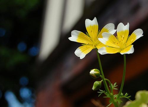 Eggflower